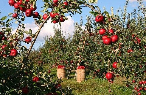 Apple orchard with trees full of red apples and a ladder standing against a tree next to two brown barrels