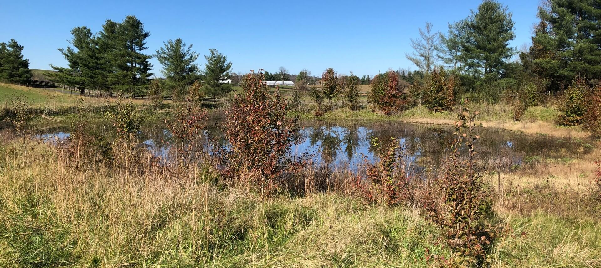 A pond surrounded by invasive Callery Pear trees and a meadow.